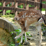 Парк оленей в Куала-Лумпур: от Канчила до Бэмби.