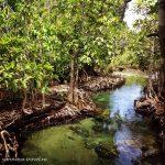 Краби, Таиланд: кристальный ручей в мангровом лесу.