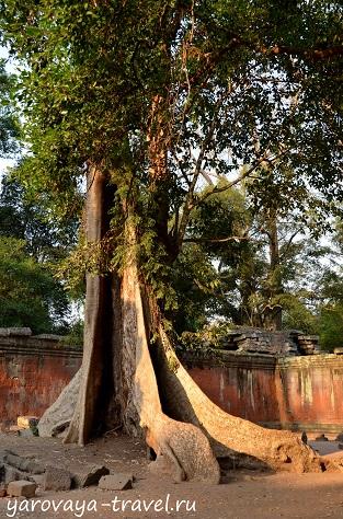 """Лианы опутали дерево, """"задушили"""" его и разрослись, превратившись в дерево."""