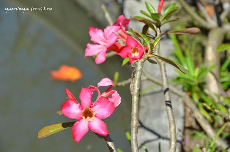 Франжипани бывают белыми и розовыми