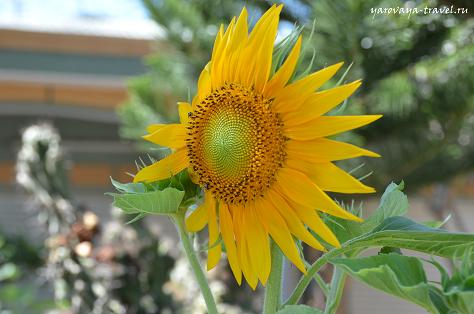 Подсолнух - символ солнца