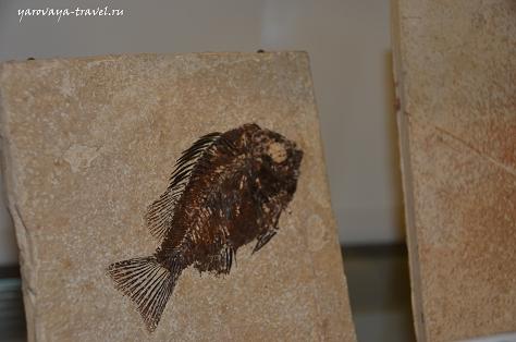 Отпечаток древней рыбы на камне