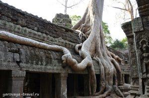 Та Пром. Камбоджа.