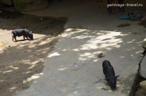 Черные свиньи.