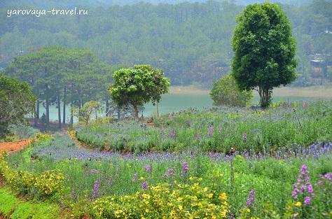 лаванда во Вьетнаме