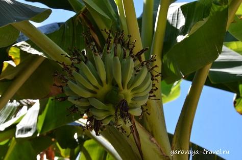Растут бананы.